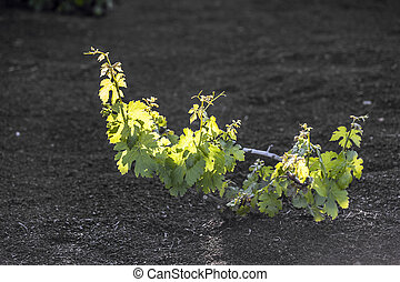 vineyard in Lanzarote island, growing on volcanic soil - A...