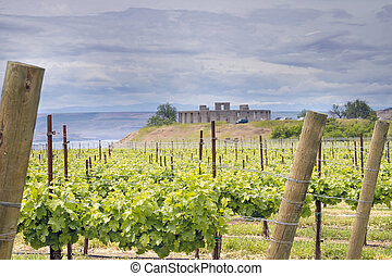 Vineyard in Maryhill Washington State