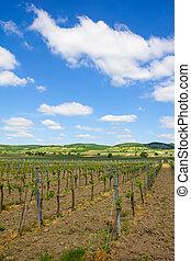 Vineyard In North Burgenland