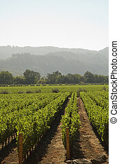 Rows of supported and trained vines in a terraced vineyard in hills of Northern California