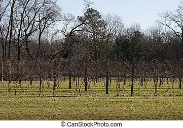 Vineyard in Ohio