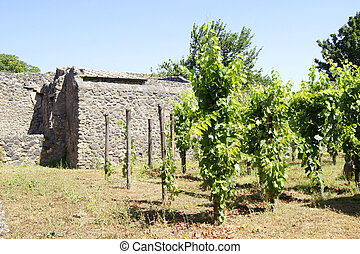 Vineyard in Pompeii - Plantation of grapes in Pompeii,...