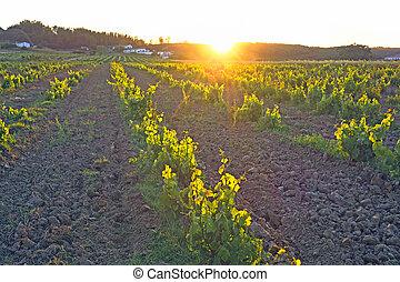 Vineyard in Portugal, Alentejo region at sunset