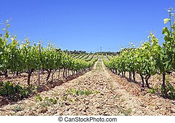 Vineyard in Portugal, Alentejo region.