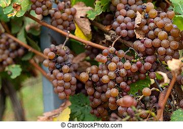 Vineyard in Romania