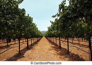 Vineyard in Sonoma county, California