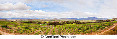 Vineyard in South African winelands region - Valley and...