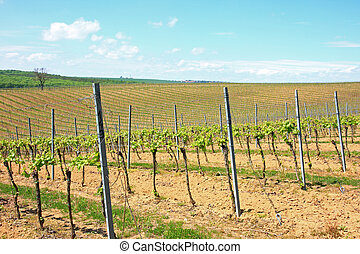 Vineyard in spring
