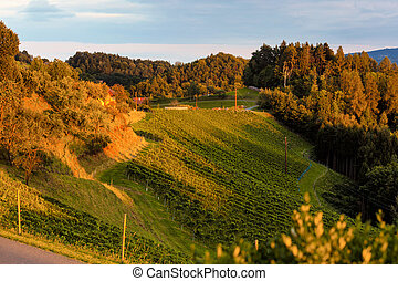 vineyard in the evening light - the vineyard of a vintner in...