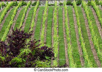 Vineyard in the famous wine making region - Loire Valley , France