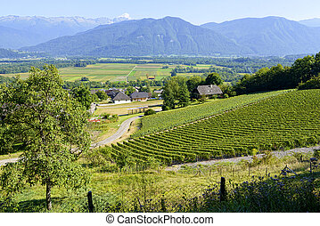 vineyard in the French Alps
