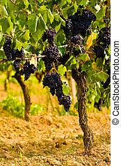 Vineyard in the hills of Toscane