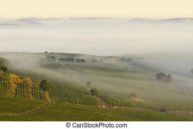 Vineyard in the morning fog
