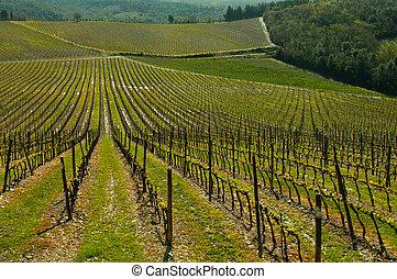 Vineyard in the spring - Vineyard in Tuscany Italy in the...