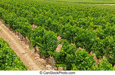 Vineyard in the wine region