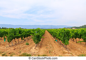 Vineyard in the wine region in Provence