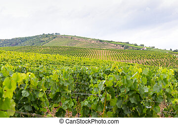 Vineyard in Tokaj, Hungary