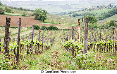 Vineyard in Tuscany - A farm with a vineyard and olive trees...