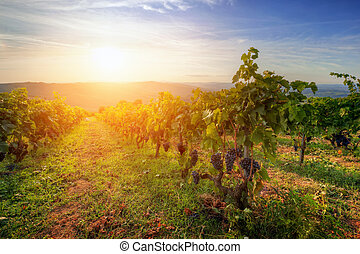 Vineyard in Tuscany, Ripe grapes at sunset