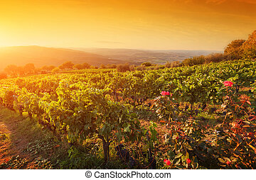Vineyard in Tuscany, Ripe grapes at sunset