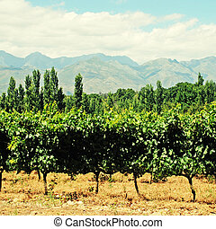 vineyard in West Cape(South Africa) - agricultural landscape...