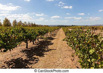 Grape vines for wine production