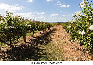 Vineyard in western australia