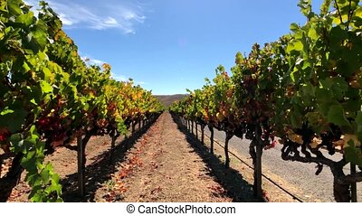 Vineyard landscape at Napa valley - Walking through vineyard...