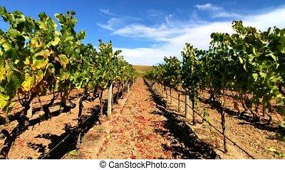 Vineyard landscape at Napa valley - Walking through vineyard...