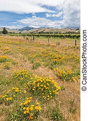 vineyard landscape in Marlborough region of New Zealand with wildflowers meadow in foreground