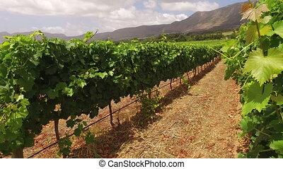 Vineyard landscape - South Africa