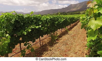 Vineyard landscape - South Africa - Landscape of a lush...