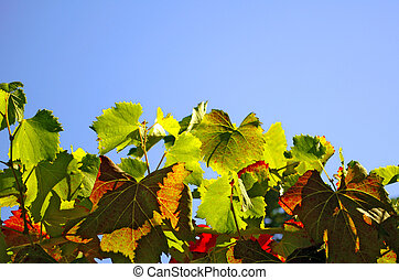 Vineyard Leaves