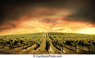 Vineyard Light - Beautiful Vineyard Sunset in South...