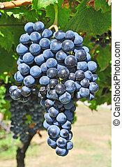 vineyard merlot wine in the Italian countryside
