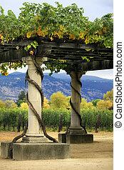 Vineyard Napa in California. - Vineyard in the wine growing...