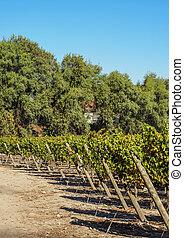 Vineyard near Santiago de Chile