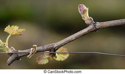 Vineyard, New growth budding out from grapevine