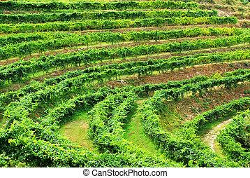 Vineyard of alvarino wine, Minho, Portugal.
