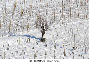 Vineyard of Langhe with now, Piedmont - Italy