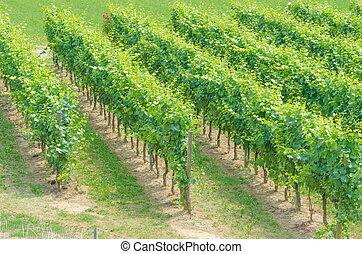 Vineyard on a bright summer day