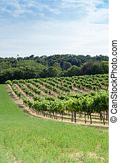 Vineyard on a hill