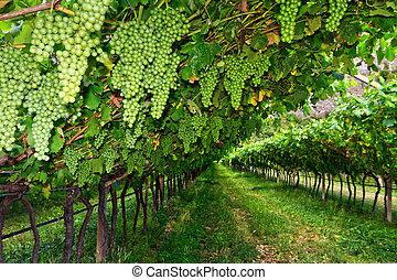 vineyard on summer in Trentino-Alto Adige, Italy