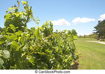 Vineyard on the golf course