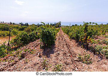 Vineyard on the sea background