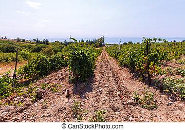 Vineyard on the sea background