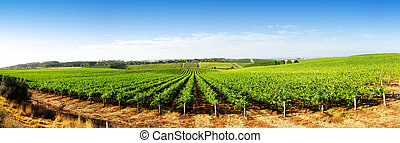 Vineyard Panorama in the Adelaide Hills