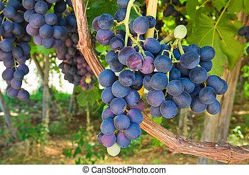 Vineyard.