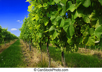 Vineyard  - Beautiful vineyard with bue sky and ripe grapes