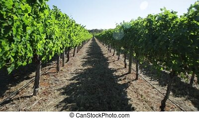 Vineyard POV walking with rows of white grapes in Wilyabrup...